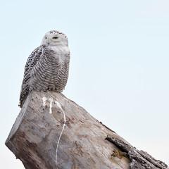 DSC_0172_edit (Hanzy2012) Tags: toronto ontario wildlife canada bird nikon d500 afsnikkor500mmf4difedii owl snowyowl buboscandiacus