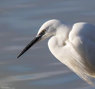 Little Egret...Poised