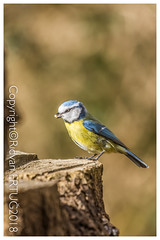 Blue Tit  / Cyanistes Caeruleus aka Parus Caeruleus (R ERTUG) Tags: nikkor200500mmf56eafsed nikond610fx wildlifephotography birdphotography fallowdeer nature watcher ferrymeadowscountrypark rertug
