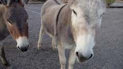 I almost got the young spooky burro to eat from my hand! almost. (EllenJo) Tags: clarkdalearizona clarkdaleburros clarkdaleaz az arizona smalltownlife burros donkeys verdecanyonrailroaddepot ellenjo pentaxks1 march16 2018