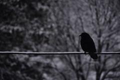 Bird on a Wire (flashfix) Tags: march142018 2018inphotos ottawa ontario canada nikond7100 40mm nikon flashfix flashfixphotography portrait crow bird wire trees snow nature mothernature birdphotography