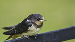 Barn Swallow (- A N D R E W -) Tags: nikon d7100 animal bird nature naturaleza wings pájaro dof depth bokeh summer verano green verde grass black brown feathers barn swallow 70300mm beak