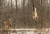 Deer in Flight (Conrad Kuiper) Tags: whitetail hullett deer mammal jump