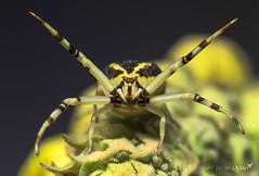Familia/ Family (Thomisidae) (Jacobo Quero) Tags: thomisidae thomisus ecuador spider crabspider arañacangrejo araña yellow amarillo wildlife insect naturaleza nature macro