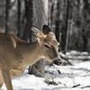 Let's Be Friends (parsonsandrew1) Tags: nikon d3200 50mm deer nature forest color saturation desaturation snow winter hirsch wald schnee