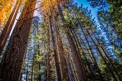 Yosemite.Trees.2600p.227 (l.dardennes) Tags: yosemite yosemitenationalpark california usa canoneos7dmarkii sigma1750mmf28 yosemitevalley étatsunis us