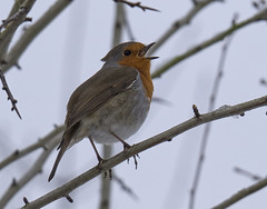 Spring Robin (ORIONSM) Tags: robin bird spring snow uk britain red breast wildlife olympus omdem1 olympus14150mm