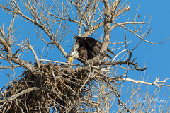 Female Bald Eagle returns to the nest - 27 of 29