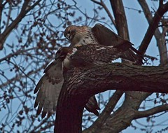Christo and Dora mating (Goggla) Tags: christo dora mating nyc new york east village tompkins square park urban wildlife bird raptor red tail hawk adult male female