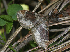 Xanthorhoe ferrugata - Dark-barred twin-spot carpet - Ларенция изменчивая (Cossus) Tags: geometridae larentiinae xanthorhoe пяденица 2009 анциферово