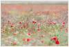 """""""Lo que vendrá"""" (Gerkraus) Tags: flores amapolas bardenasreales navarra rojo red paisaje"""