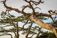 The black pine trees in the Vienna Woods (a7m2) Tags: schwarzföhre kiefer wienerwald parapluiberg mödling perchtoldsdorf loweraustria wandern wald natur