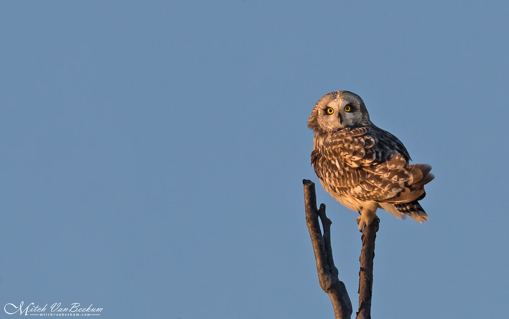 Sitting Pretty (Short-Eared Owl)