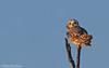 Sitting Pretty (Short-Eared Owl) (Mitch Vanbeekum Photography) Tags: shortearedowl short eared ear owl perched blue bluesky twig tree stick mitchvanbeekum canon14teleconvertermkiii canoneos1dx canonef500mmf4lisiiusm mitchvanbeekumcom asioflammeus