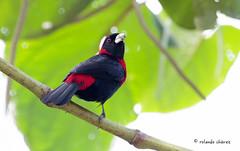 Crimson-collared Tanager (rolando chdm) Tags: crimsoncollaredtanager ramphocelussanguinolentus tangarasangredetoro tangararojinegra naha chiapas aveschiapas mexico birdingchiapas