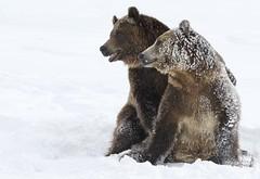Friends (kpgoldman.nature) Tags: grizzlybears grizzly bear bears mammal yellowstone westyellowstone gbwrc 400mm kengoldmanphotography