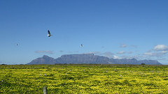 Table Mountain from Robben Island (rjmiller1807) Tags: tablemountain table mountain robbenisland robben island view flowers yellow gulls birds olympus tough toughcamera olympussylustg4 2017 fieldwork scene scenery scenic