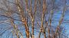 River Birches, Arcadia, NC, 2018 (Tom Powell) Tags: home arcadia northcarolina trees winter 2018 sunshine 16x9 texture lines sigma30mmf14dcdn sky