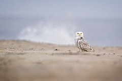 Surfs Up... (DTT67) Tags: snowyowl owl arctic wildlife nature birds canon 1dxmkii 500mmii 2xtciii winter
