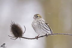Spinus spinus (nonnogrizzly) Tags: spinusspinus lucherino aves uccelli birds natura fauna ontano albero bosco