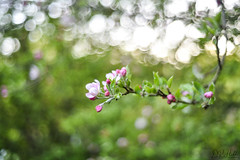 A New Start (D. R. Hill Photography) Tags: spring springtime bokeh tree nature blossom bloom flowers nikon nikond750 d750 nikon50mmf18seriese seriese 50mm primelens fixedfocallength manualfocus