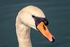 Portrait de cygne (2018) (gerardcarron) Tags: animaux canon80d eau lacbourget landscape lac nature water oiseaux cygne lake