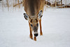 Fort Snelling State Park (Liz Nemmers) Tags: fortsnellingstatepark stpaul statepark minnesota deer whitetail nature winter wildlife onlyinmn photography nikon nikond3100