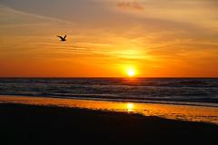 farewell dance (Wöwwesch) Tags: sunset seagull colors ocean coast beach northsea reflection winter walk sand golden