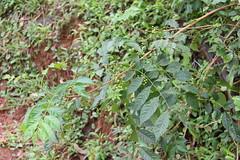 Cipadessa baccifera_Rajgad3 (Alka Khare) Tags: cipadessa meliaceae floraofmaharashtra