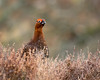 Red Grouse (Gordon Nicoll) Tags: redgrouse wildbirds angus wildlife scotland bird angusglens glenlethnot