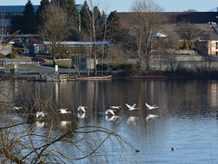 OH NO!  THE TRUMPETER SWANS ARE LEAVING1  MILL LAKE,  ABBOTSFORD,  BC. (vermillion$baby) Tags: milllake abbotsford reflection swans bird bc fraservalley beautifulbc