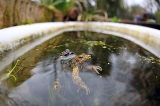 Common frogs spawning in Bath Tub, Bristol, Ian Wade