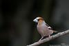 Grosbec casse-noyaux (gilbert.calatayud) Tags: coccothraustescoccothraustes fringillidés grosbeccassenoyaux hawfinch passériformes bird oiseau graulhet tarn occitanie
