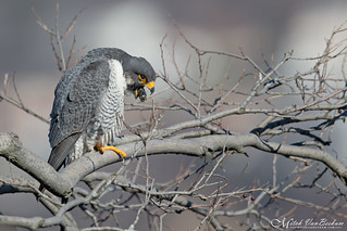 Peregrine Falcon Regurgitating Pellet (Explored)