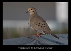 Mourning Dove (4298) (fbc57) Tags: birds florida nikond850 ameliaisland fernandinabeach tamron150600spvcusdg2 mourningdove zenaidamacroura columbidae pigeons doves