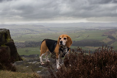 Beagle at Baslow (phoebe.horner) Tags: canon camera 700d picture pictures photo photos photography photographer photograph uk britain england peak peaks district national park nature natural trust walk walking walks country countryside landscape landscapes hill hills rock rocky cliff cliffs track tracks colour cloudy clouds cloud moody dark beagle dog dogs pet pets animal animals