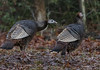 Who's That (Parris Photography) Tags: wildturkeys turkeys wildlife delaware parrisphotography