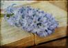 Blue Hyacinth (maureen bracewell) Tags: flowers spring stilllife hyacinth blue oldbook texture maureenbracewell cannon closeup photoart digitalart pastel