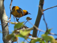 South side of a West-facing Oriole - Los Liones Cyn. (weezerbee9) Tags: