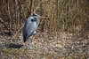 A Bird Out of Water (MTSOfan) Tags: bird heron greatblueheron