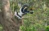 Great Indian Hornbill (pointn'click) Tags: kaziranga wildlife grasslands forest animals birds sanctuary