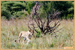 Lioness spotted a prey (Johann (Sasolburg, RSA.)) Tags: lion lioness leeuwyfie pilanesberg makemesmile ef100400mmf4556lisusm canoneos7dmarkii simplysuperb