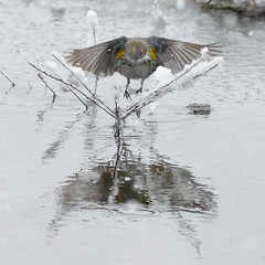 Female Yellow-Rumped Warbler in the Snow - 2nd Day of Spring -1 (Scott Alan McClurg) Tags: animalia aves chordata parulidae passeriformes scoronata setophaga cold delaware flight fly flying landing pond snow snowing snowstorm spring