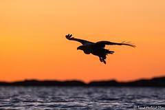 Havørn (Trond Hovland Olsen) Tags: kveld solnedgang whitetail eagle havørn sunset