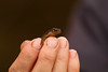 smooth newt (jon lees) Tags: the herpetological society ireland amphibians common newt lissotriton vulgaris formerly triturus