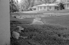 Urbex, Canine Flavor (PositiveAboutNegatives) Tags: leica rangefinder m3 leicam3 50mm summicron 50mmsummicrondr dualrange yellowfilter film analog bw blackandwhitefilm foma fomapan fomapan100 aristaultraedu rodinal coolscan empty deserted abandoned vacant dog lab labrador yellowlab