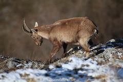 Etagne (fauneetnature) Tags: étagne ibex bouquetin bouquetins animalier animaux animals animal alpes alps animauxmontagne montagne maurienne mountain mountainanimals savoie