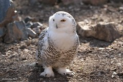 Harfang des neiges (Passion Animaux & Photos) Tags: harfang neiges snowy owl bubo scandiacus parc animalier saintecroix france