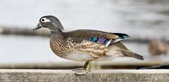 Wood Duck (f) (glenbodie) Tags: bodie glen glenbodie reifel