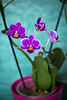 Baby Orchid, second round (Jahny) Tags: orchid flower pink pinky petal baby home sweet purple plant room nature